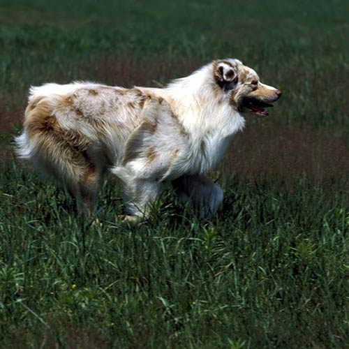 Australian Shepherd running outdoors.