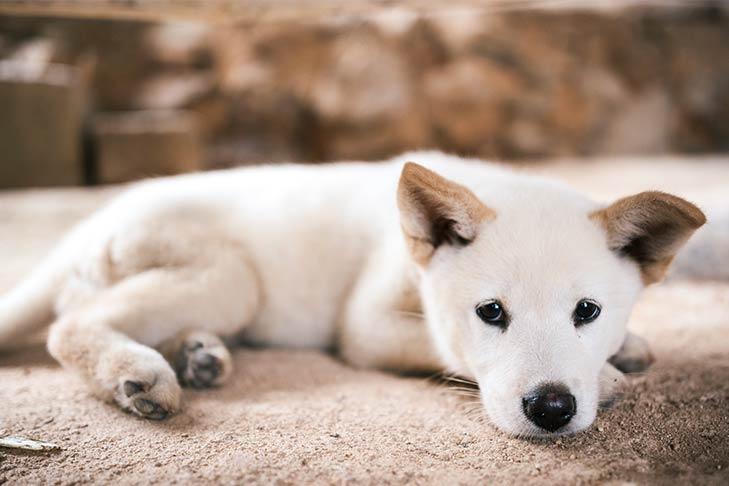 Cachorro Jindo tendido al aire libre.