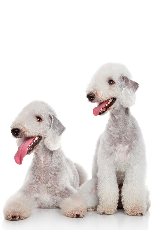 Two Bedlington Terriers side-by-side, one sitting and one lying down on a white background.