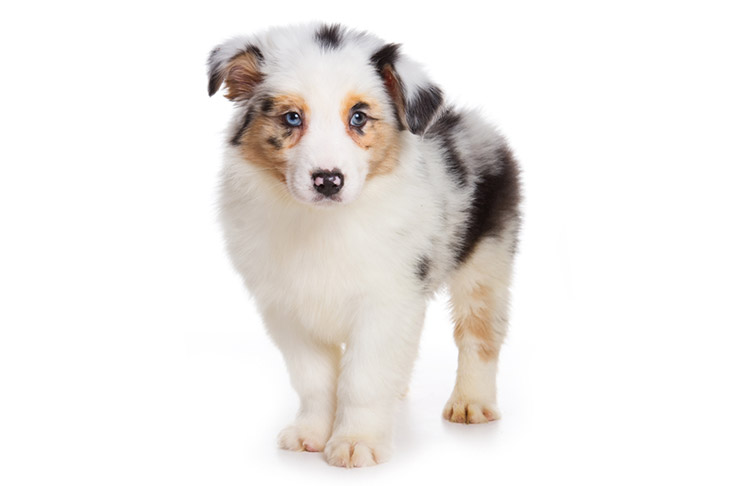 Australian Shepherd Aussie Puppies For Sale Akc Puppyfinder