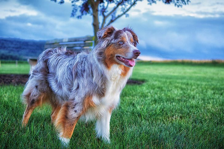 Australian Shepherd standing in a green grassy field at twilight.