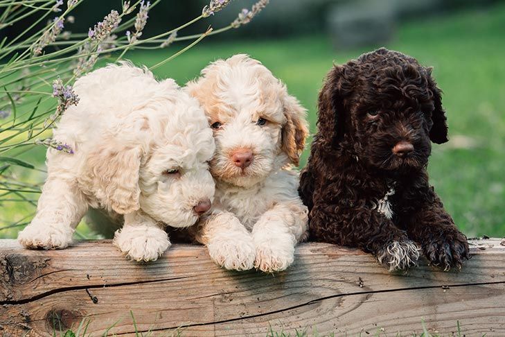 Lagotto Romagnolo Puppies For Sale Akc Puppyfinder