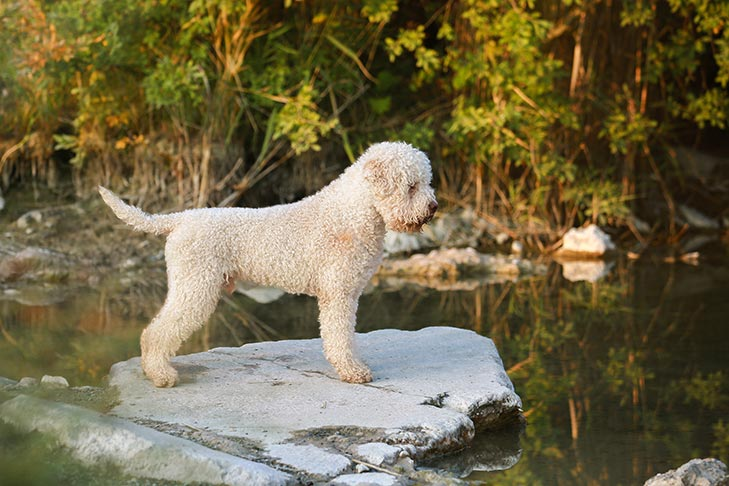 Lagotto Romagnolo standing by a pond.