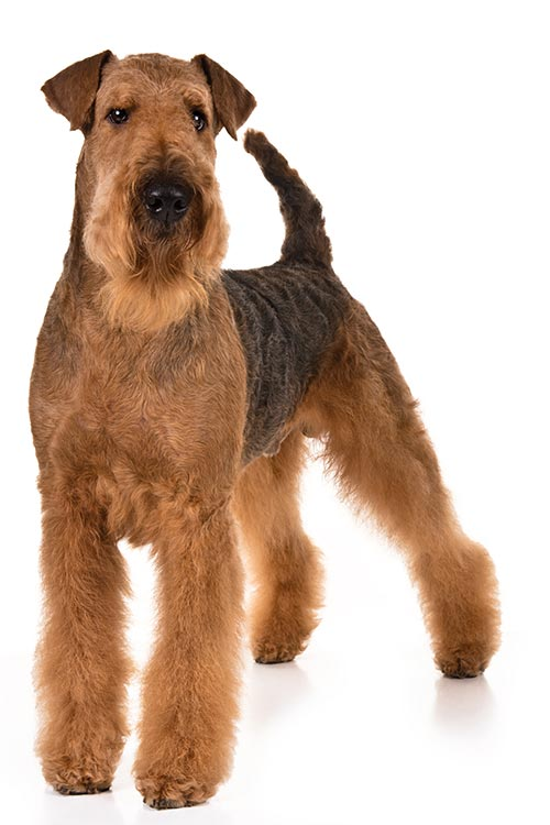 Airedale Terrier standing in three-quarter view on a white backgorund.
