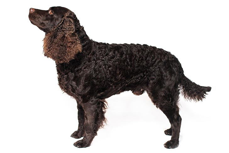 American Water Spaniel standing facing left on a white background.