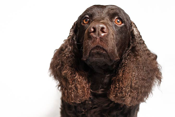 Portrait of an American Water Spaniel face on a white background.