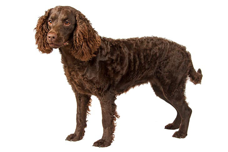 American Water Spaniel standing facing left, head turned forward.