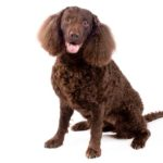 American Water Spaniel sitting in three-quarter view on a white background.