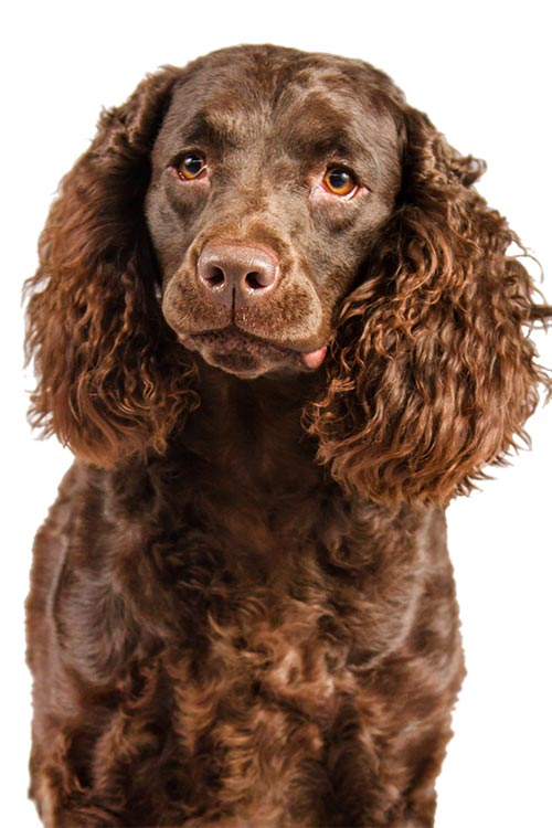 American Water Spaniel head and chest on a white background.