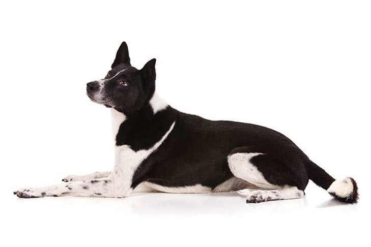 Canaan Dog lying down facing left