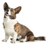 Cardigan Welsh Corgi sitting in three-quarter view looking up.