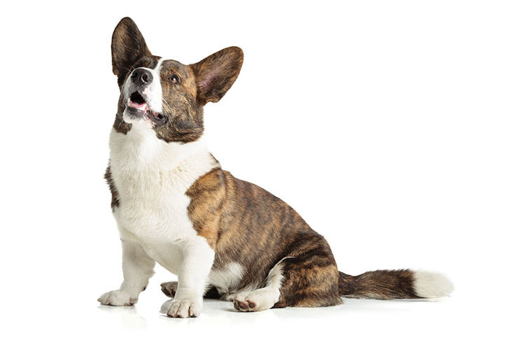 Cardigan Welsh Corgi sitting in three-quarter view looking up