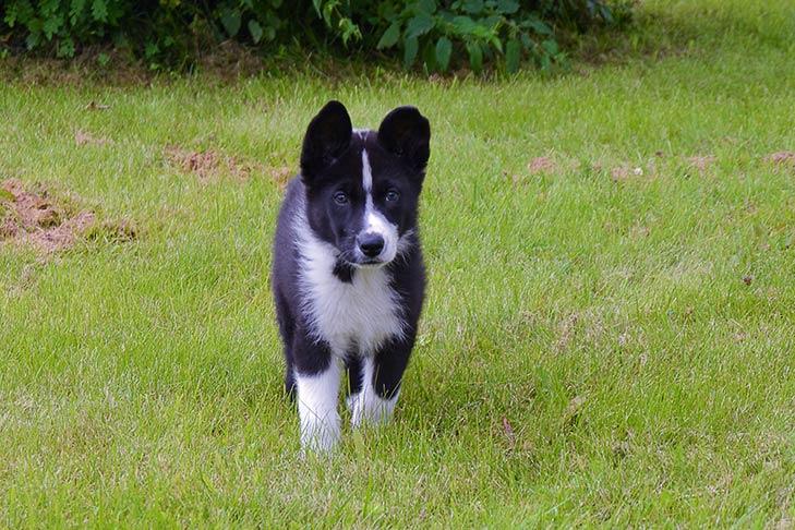 Karelian Bear Dog Dog Breed Information - American Kennel Club