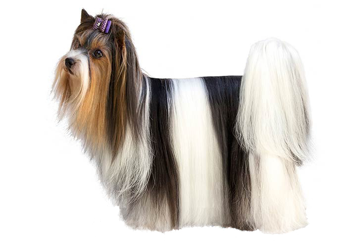Biewer-Terrier-standing-on-a-white-backg