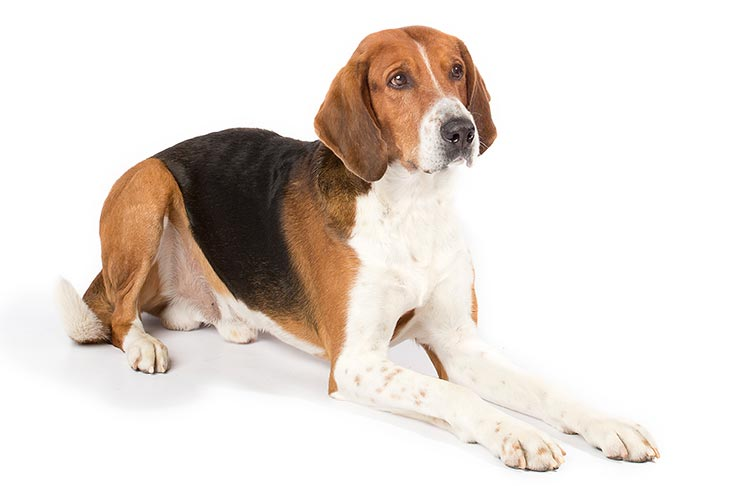 12d4a42e American Foxhound Dog Breed Information