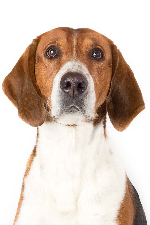 American Foxhound head and shoulders facing forward.