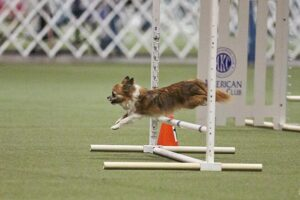 Chihuahua leaping over an agility jump.