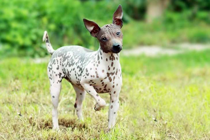 American Hairless Terrier puppy standing in a field outdoors.