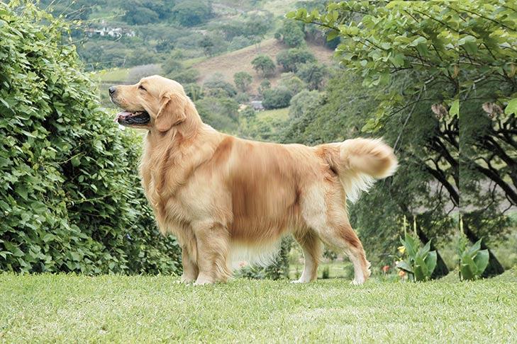 Golden Retriever Standing