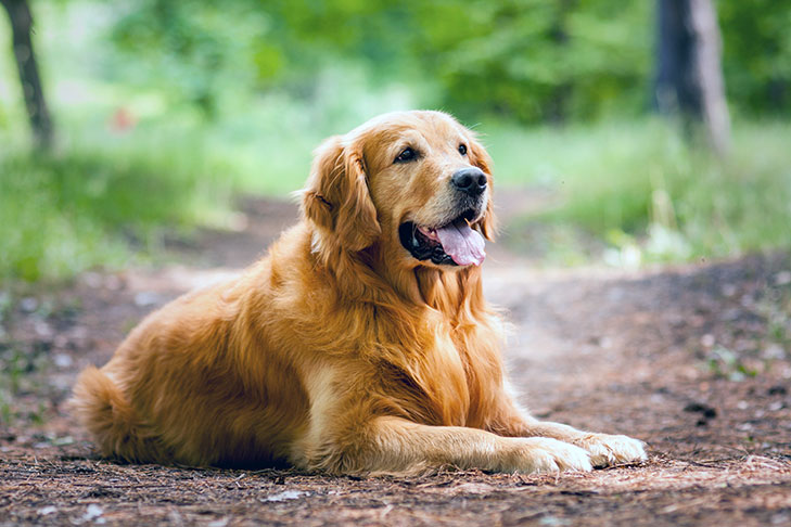 Golden Retriever Laying