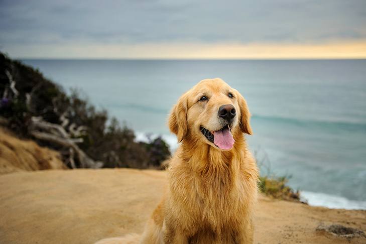 Golden Retriever by the Lake