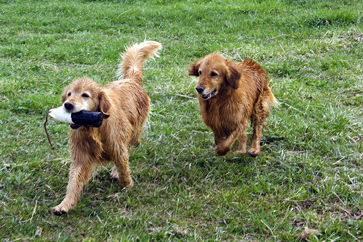 Two Wet Golden Retrievers