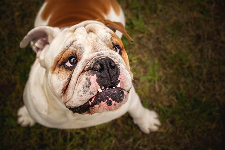 Bulldog looking up portrait closeup