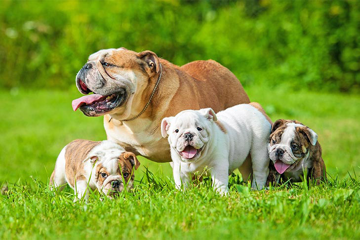 English Bulldog with three Bulldog puppies outdoors in the grass.