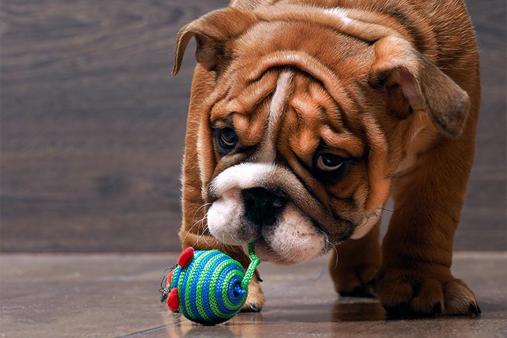 Bulldog puppy playing with small toy