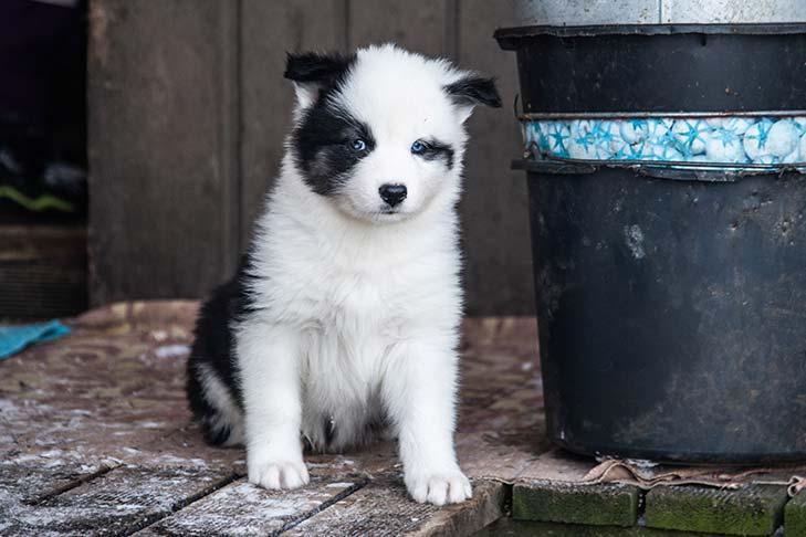 Yakutian Laika puppy