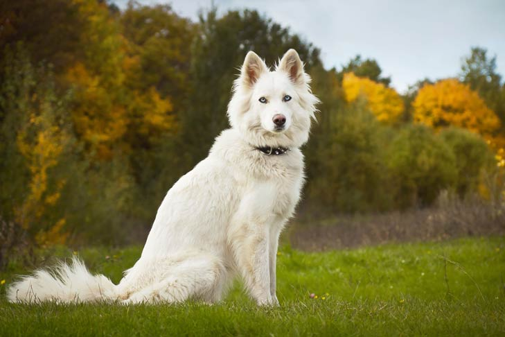 Yakutian Laika sitting in green grass with trees with fall colors in the background.