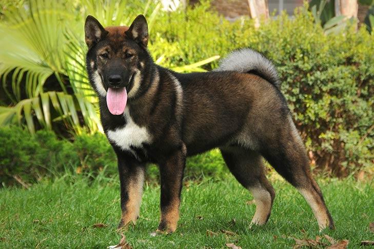 Shikoku Dog Breed Information - American Kennel Club
