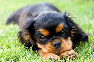 Cavalier King Charles Spaniel puppy lying in the grass outdoors.