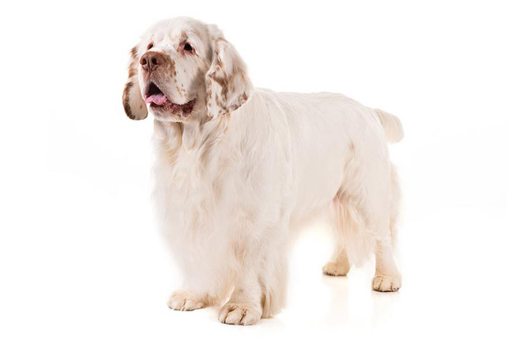Clumber Spaniel standing in three-quarter view