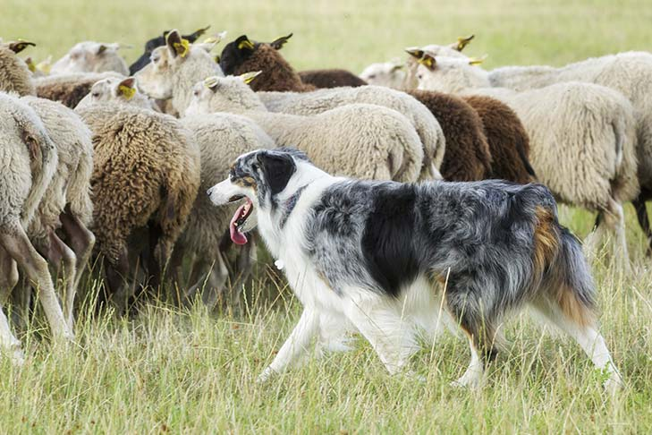 An Australian Shepherd herding a flock of sheep.