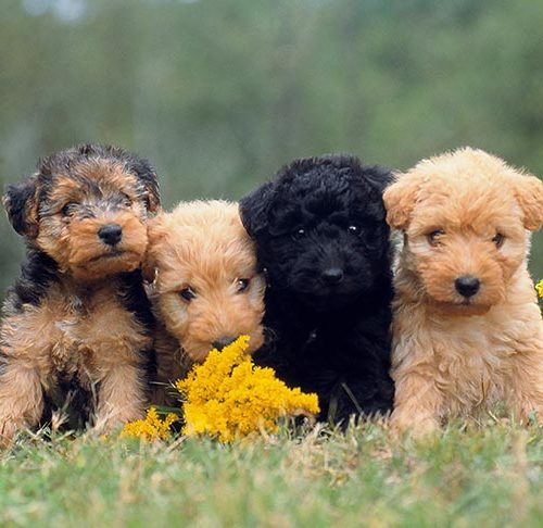 How To Spot A Puppy Scam Online American Kennel Club