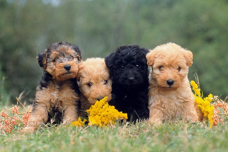 How to Spot a Puppy Scam Online – American Kennel Club