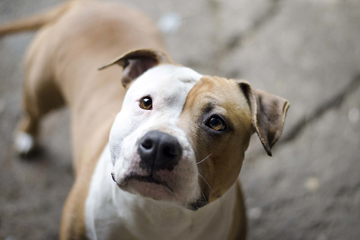 American Staffordshire Terrier face in three-quarter view.