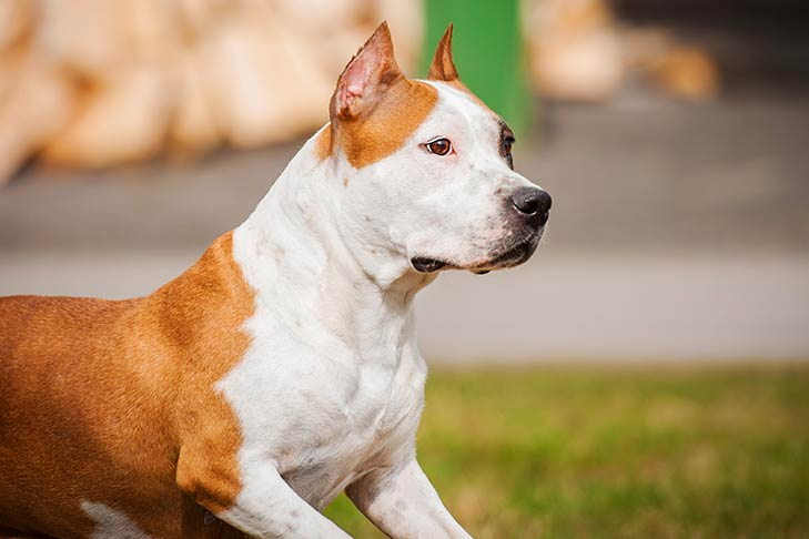 American Staffordshire Terrier outdoors facing right.