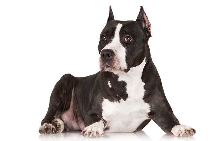 American Staffordshire Terrier lying down on a white background.
