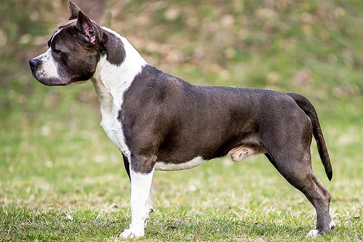 American Staffordshire Terrier standing outdoors facing left.