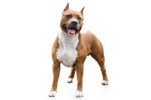 American Staffordshire Terrier standing in three-quarter view facing forward.