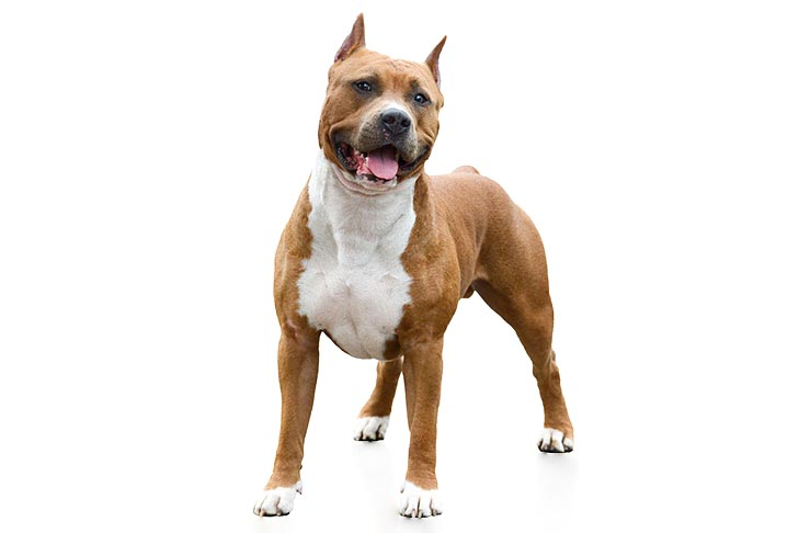 American Staffordshire Terrier standing in three-quarter view facing forward on a white background.