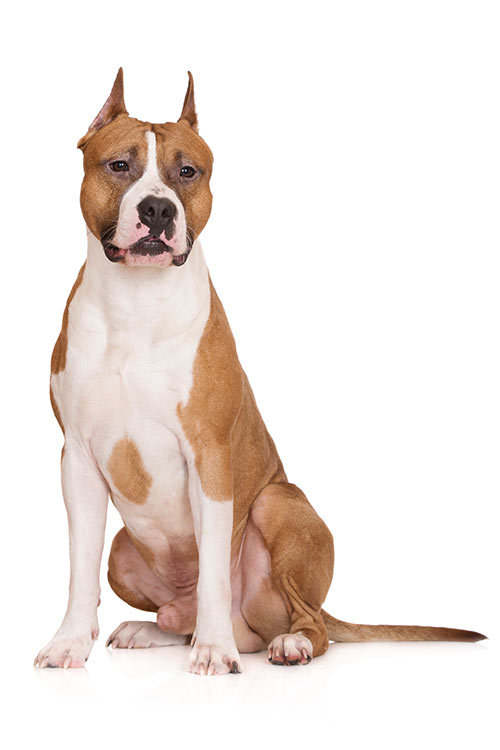 American Staffordshire Terrier sitting in three-quarter view on a white background.