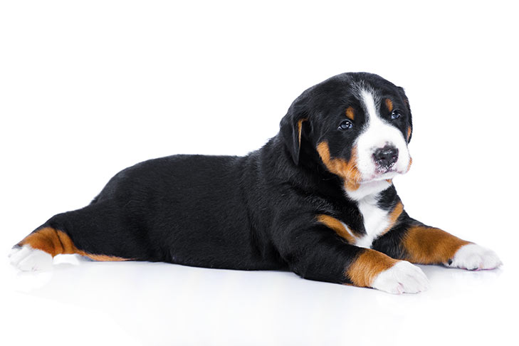 Appenzeller Sennenhund puppy lying down on a white background.