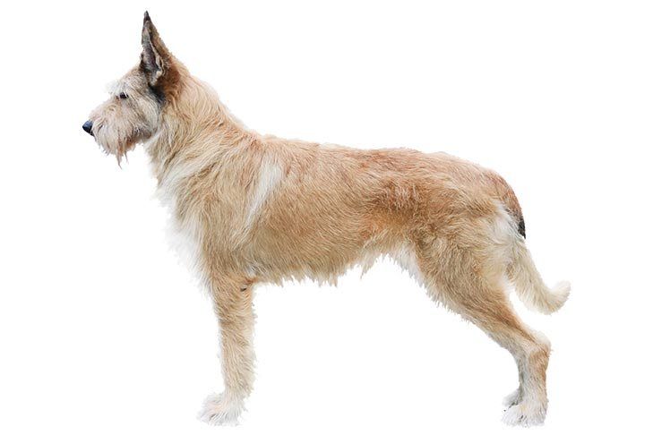Berger Picard Dog Breed Information