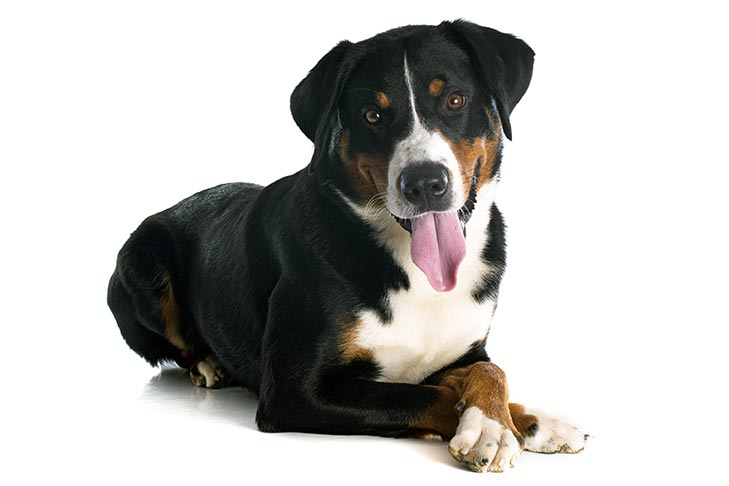 Appenzeller Sennenhunde lying down on a white background.