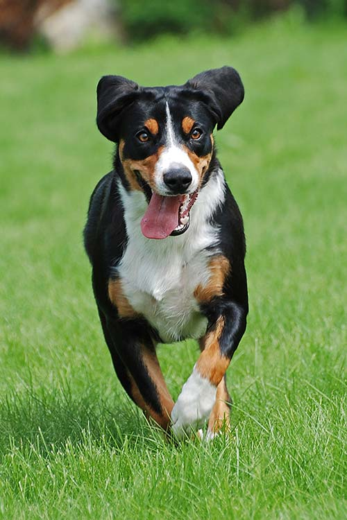 Appenzeller Sennenhunde running outdoors.