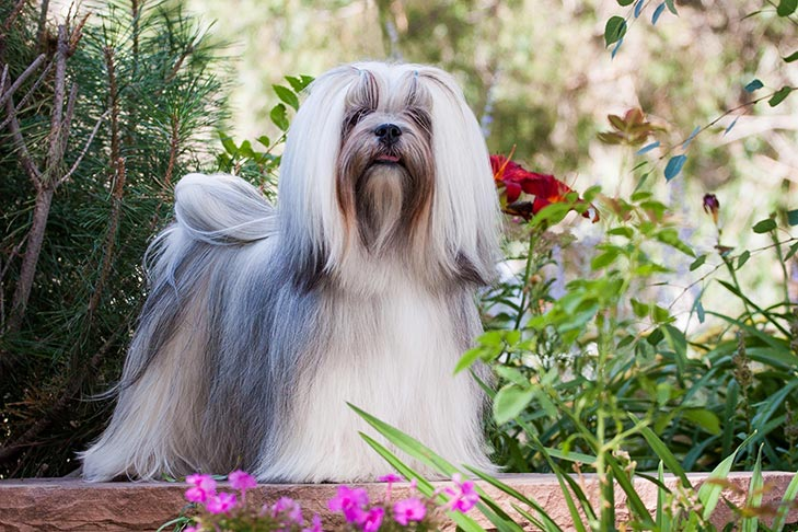 Lhasa Apso standing in the garden.