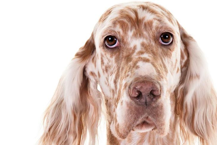 English Setter head facing forward